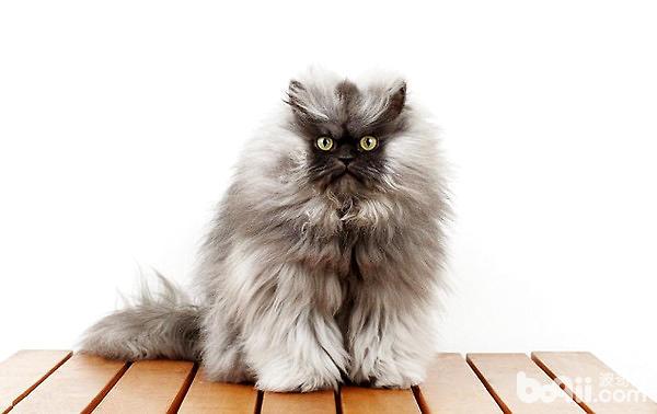 猫咪品种鉴赏之喜马拉雅猫-猫咪品种